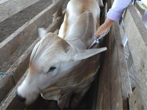 Começa a 1ª etapa de vacinação contra a Febre Aftosa